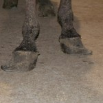 Badly overgrown hooves