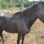Misty - 4 year old Appaloosa mare