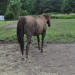 Rose- 20 year old QH mare