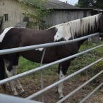 Savannah - Black/White Paint mare