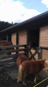 Stella in her stall with Anakin and the minis  keeping her company.