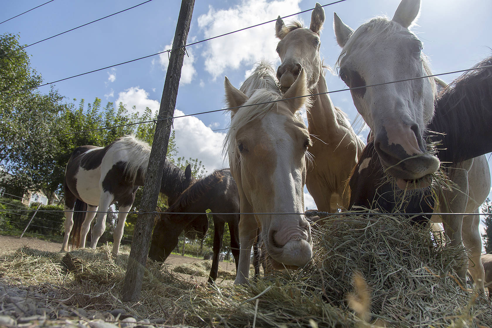 Redmond Reporter: More than 100 horses are being hoarded by a nonprofit in Puget Sound